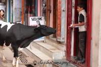 Cow vs Children (mcLeod Ganj) India